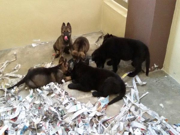 Must see German Shepherd Chubby Adorable Dog - puppies-sep-16-2  Trends_343818  .jpg